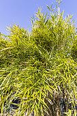 Bamboo (Pleioblastus linearis)