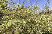 Alternateleaf dogwood (Cornus alternifolia) 'Pinky Spots in bloom