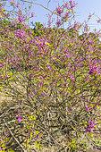 Himalayan indigo (Indigofera himalayensis) 'Silk Road' in bloom