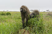 Olive Baboon (Papio anubis), Seronera, Serengeti National Park, Tanzania.