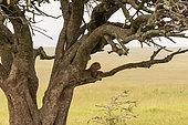 Leopard (Panthera pardus), Seronera, Serengeti National Park, Tanzania.