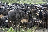 Wildebeests (Connochaetes taurinus), Ndutu, Ngorongoro Conservation Area, Serengeti, Tanzania.