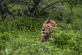 Lion (Panthera leo), Ndutu, Ngorongoro Conservation Area, Serengeti, Tanzania.