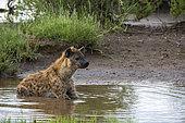Spotted hyena (Crocuta crocuta), Ndutu, Ngorongoro Conservation Area, Serengeti, Tanzania.
