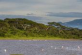Greater flamingos (Phoenicopterus roseus) on the lake Ndutu, Ngorongoro Conservation Area, Serengeti, Tanzania.