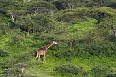 Masai giraffe (Giraffa camelopardalis tippelskirchi), Ndutu, Ngorongoro Conservation Area, Serengeti, Tanzania.