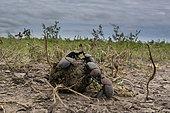 Dung beetles (Scarabaeidae) rolling dung ball, Ndutu, Ngorongoro Conservation Area, Serengeti, Tanzania.