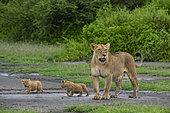 Lion (Panthera leo) lioness with its 4 weeks old cubs, Ndutu, Ngorongoro Conservation Area, Serengeti, Tanzania.