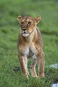 Lioness (Panthera leo), Ndutu, Ngorongoro Conservation Area, Serengeti, Tanzania.