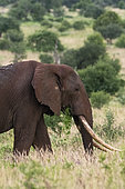 African elephant (Loxodonta africana), Tsavo, Kenya.