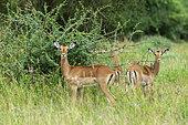 Impala (Aepyceros melampus), Tsavo, Kenya.