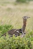Kori bustard (Ardeotis kori), Tsavo, Kenya.