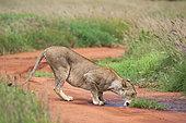 Lioness (Panthera leo), Tsavo, Kenya.