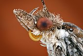 Portrait of a 5 mm large moth (Tineidae)
