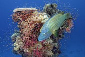 Adult Humphead Wrasse (Cheilinus undulatus) swims over Coral Tower, Red Sea, Egypt, Africa