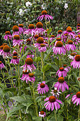 Rocambole gardens, Artistic vegetable and botanical gardens in organic farming, A meeting between art and Nature, Purple Echinacea (Echinacea purpurea) , flower bed, La Lande aux Pitois, Corps Nuds, Ille-et-Vilaine (35), Brittany, France