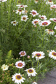 Les jardins Rocambole, Artistic vegetable and botanical gardens in organic farming, A meeting between art and Nature, Cosmos xanthos (Cosmos bipinnatus) in flower, La Lande aux Pitois, Corps Nuds, Ille-et-Vilaine (35), Brittany, France