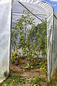 Plastic greenhouse for growing tomatoes, a longère (traditional dwelling), surrounded by a flower garden, Ille-et-Vilaine (35), Brittany, France