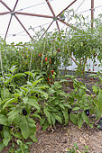 Cultivation of tomatoes sp. and eggplant (Solanum melongena), in greenhouse, Rocambole gardens, Artistic vegetable and botanical gardens in organic farming, A meeting between art and Nature, La Lande aux Pitois, Corps Nuds, Ille-et-Vilaine (35), Brittany, France