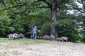 Feeding by agrainage with corn, wild boars (Sus scrofa), in the undergrowth, the wild boars follow the gamekeeper who brings the food, private park, Haute-Saône (70), France