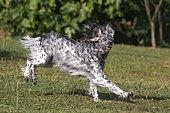 English Setter, companion dog, running in a garden, Bas-Rhin, Alsace, France