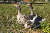 Two domestic geese on a lawn in a garden, Obernai, Bas Rhin (67), Alsace, France