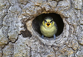 Blue tit (Cyanistes caeruleus) begging food at the entrance of the nesting chamber, England
