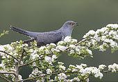 Cuckoo (Cuculus canorus) perched amongst hawthorn flower (Crataegus sp), England