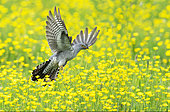 Cuckoo (Cuculus canorus) flying above buttercup (Ranunculus sp), England