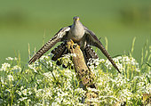 Cuckoo (Cuculus canorus) perched on a post amongst cow parsley (Anthriscus sylvestris)
