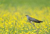 Cuckoo (Cuculus canorus) perched amongst (Ranunculus sp), England