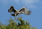 Grey heron (Ardea cinerea) landing on a pine tree, England