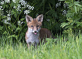 Red fox (Vulpes vulpes) cub coming out from under a tree, England