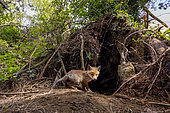 red fox (Vulpes vulpes) coming out of his earth, England