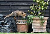 Red fox (Vulpes vulpes) on top of a flower pot