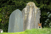 Red fox (Vulpes vulpes) standing amongst tombstone, England