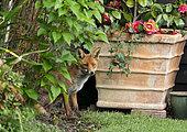 Red fox (Vulpes vulpes) near a flower pot, England