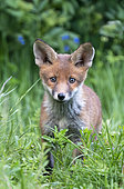 Red fox (Vulpes vulpes) cub standing amongst grass, England