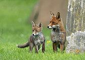 Red fox (Vulpes vulpes) vixen and cub near a tombstone, England