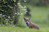Red fox (Vulpes vulpes) cub standing in the rain, England