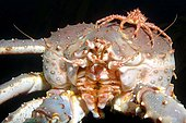 Red King crab (Paralithodes camtschaticus) and young crab, Barents Sea, Russia, Arctic, Europe