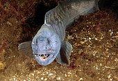 Atlantic Wolffish (Anarhichas lupus), White Sea, Karelia, Arctic, Russia, Europe