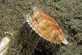 Yesso Scallop (Mizuhopecten yessoensis), Sea of Japan, Primorsky Krai, Russia, Europe