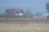 Western roe deer (Capreolus capreolus) in springtime, Hesse, Germany, Europe