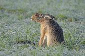 European brown hare (Lepus europaeus) on cornfield, Springtime, Hesse, Germany, Europe