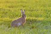 European brown hare (Lepus europaeus) on meadow, Springtime, Hesse, Germany, Europe