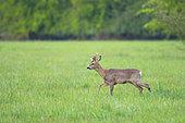 Western roe deer (Capreolus capreolus) roe buck in springtime, Hesse, Germany, Europe