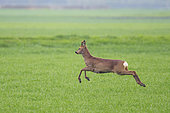 Jumping Western roe deer (Capreolus capreolus) Roebuck on cornfield, Springtime, Hesse, Germany, Europe