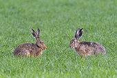 European brown hares (Lepus europaeus) on cornfield, Springtime, Hesse, Germany, Europe