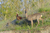 Pheasant (Phasianus colchicus) and Roe deer (Capreolus capreolus) on field, Springtime, Hesse, Germany, Europe